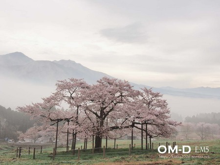 0086.E-M5_12-50mm_南阿蘇_観音桜_kashima.jpg