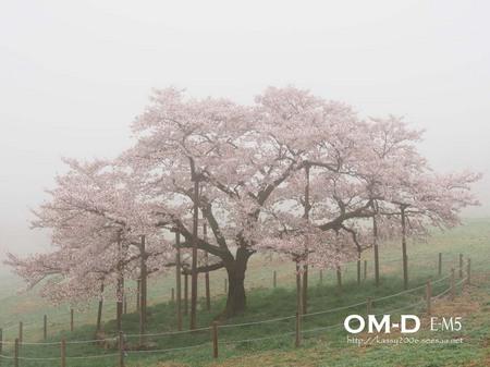 0087.E-M5_12-50mm_南阿蘇_観音桜_kashima.jpg