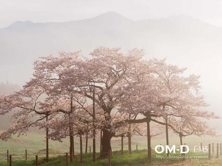 0088.E-M5_12-50mm_南阿蘇_観音桜_kashima.jpg